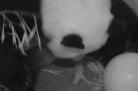 VIDEO: El tierno nacimiento de un oso panda