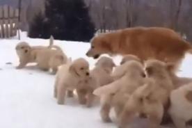 ¡Que tierno! Una perrita juega con sus cachorros en la nieve - VIDEO