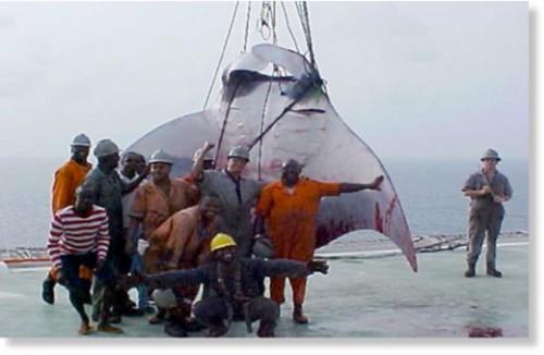 Foto: Mantarraya más grande del mundo fue cazada en Nigeria
