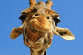 Facebook: Fotos de jirafas graciosas para el acertijo de la jirafa