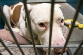 EE.UU.: Condenan a un perro pitbull a cadena perpetua