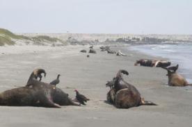 Lambayaque: Durante el año se ha encontrado 800 mamíferos sin vida