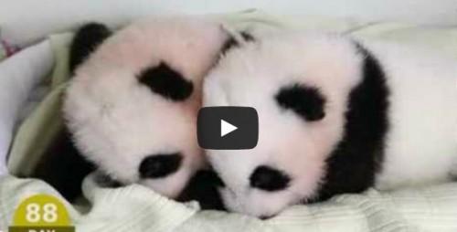 Osos panda: Los primeros 100 días de vida en tal solo 2 minutos - VIDEO