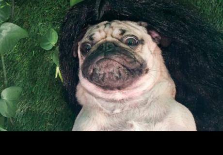 Doug el Pug que imita los selfies más sexys de Kim Kardashian