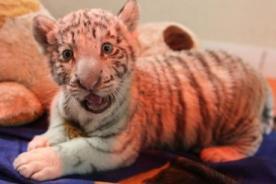 Perú: Primer tigre blanco nacido en cautiverio tendrá nuevo hogar