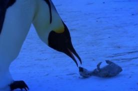 Conmovedor: Madre pingüino llora por su cría congelada - VIDEO
