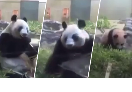 Mama osa se olvida de alimentar a su cría y su reacción hizo reír a todos en la red