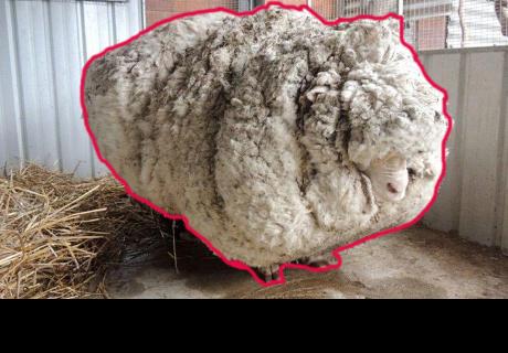 Este es el nuevo aspecto de la oveja abandonada con 40 kilos de lana