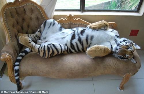 Fotos: Inmenso tigre de 170 kilos es solo un tierno gato para sus dueños
