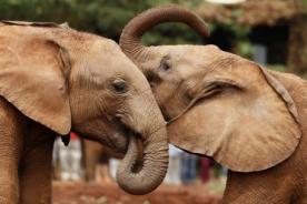 Estudio revela que los elefantes reconocen el lenguaje del ser humano