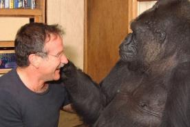 Koko, el amigo gorila de Robin Williams, lloró por la muerte del actor