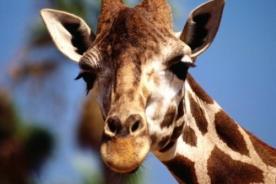 Acertijo de la jirafa en Facebook causa intriga entre los usuarios