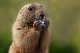 Insólito: Fiscal pidió pena de muerte a marmota por dar falsa predicción