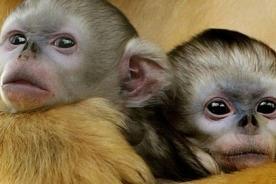 China: ¡Científicos crean mutaciones genéticas con monos!