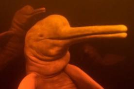 ¡Científicos descubren nueva especie de delfín!