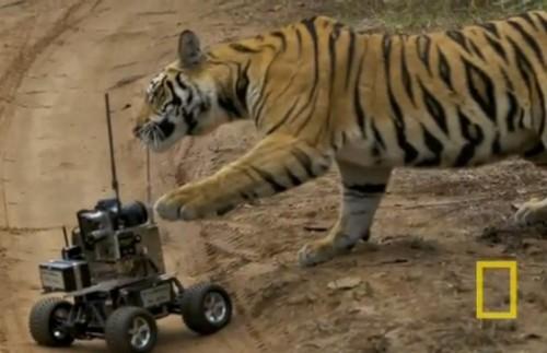 Video: Tigre salvaje tiene encuentro cercano con vehículo robot