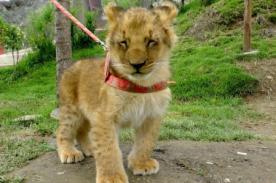 Huancayo: Leoncita nacida en cautiverio será presentada en el Zoológico