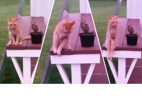 Gato se sienta como humano y se vuelve viral en la red