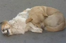 Conmovedor: Un perro se niega a separarse de su compañero tras ser atropellado - VIDEO