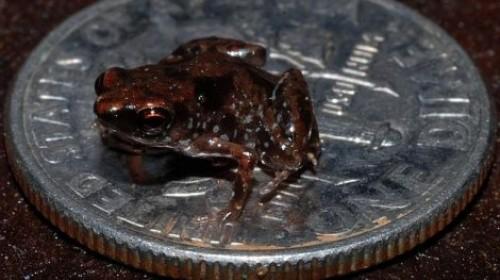Foto: El vertebrado más pequeño del mundo en una moneda