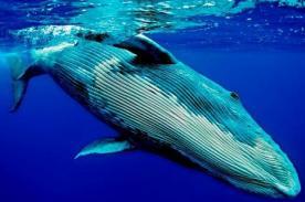Insólito: Buzo se salva de ser tragado por una ballena - Video